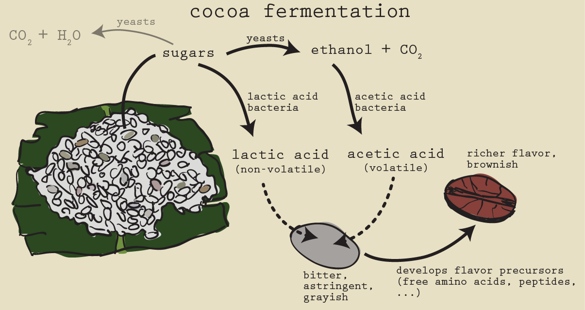 A lot of the magic happens during cocoa fermentation